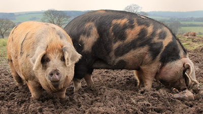 Oxford Sandy and Black Pig characteristics, Litter Size, Weight, Lifespan