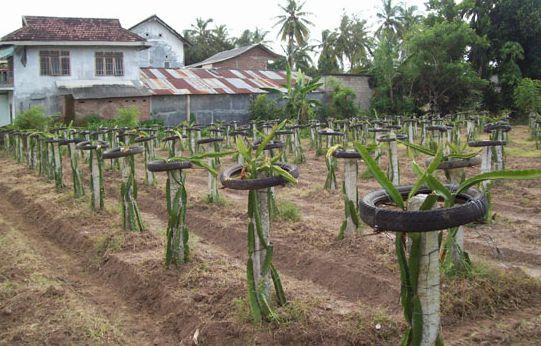 lahan tanaman buah naga