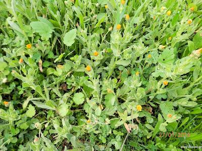 Καλέντουλα άγρια-Calendula arvensis L.