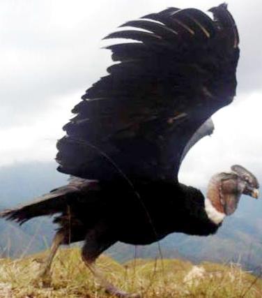 Foto de un cóndor por alzar vuelo
