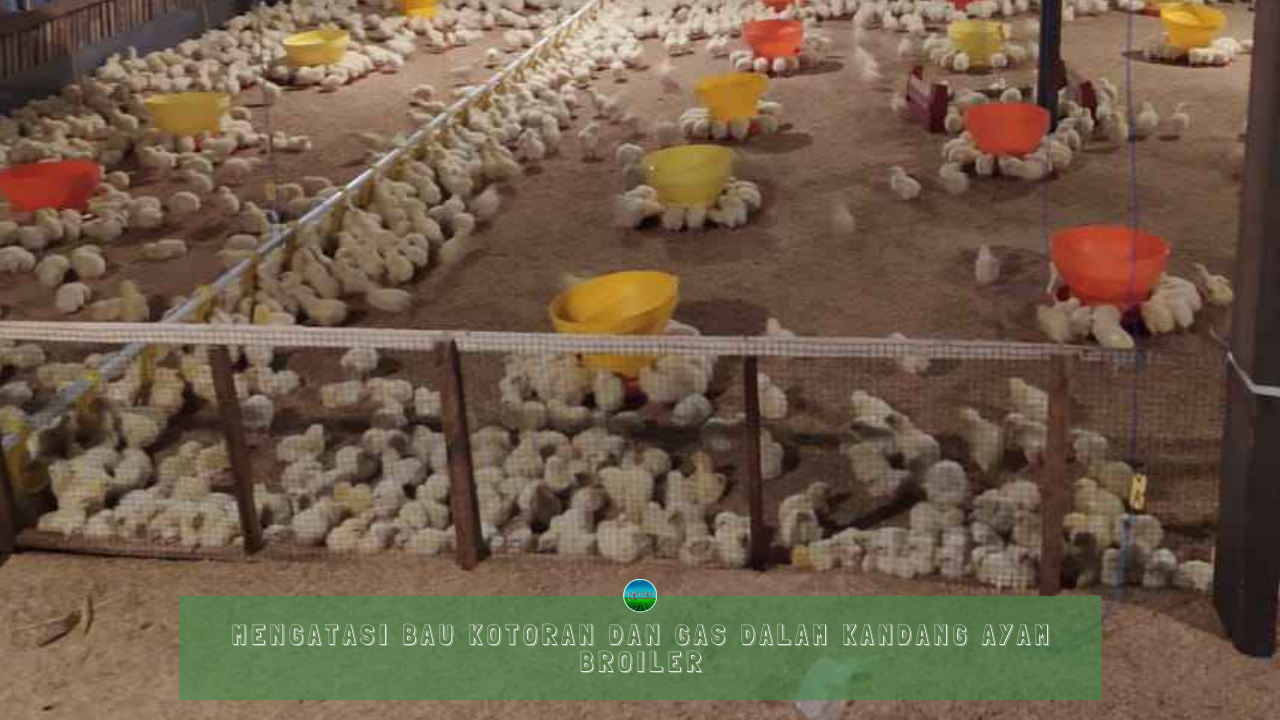 Mengatasi Bau Kotoran Dan Gas Dalam Kandang Ayam Broiler