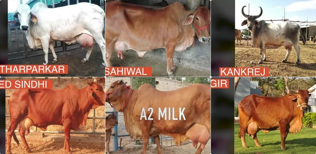 Our Desi Cows : Which is the Best Milk in the Indian Market?