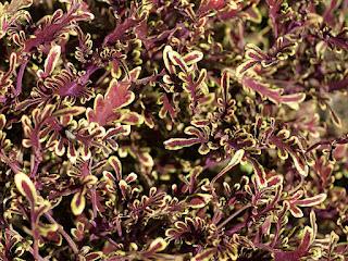 Solenostemon 'Starpride' - Coleus 'Starpride' - Plectranthus