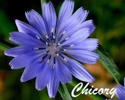 Chicory achicoria flores de Bach