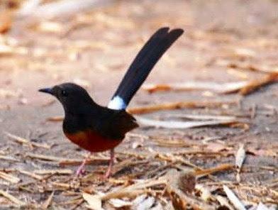 Ramuan Pakan Tradisional Burung Murai Batu Agar Gacor Dan Menjadi Juara