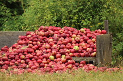 A large pile of apples spilling out of an open wooden pen