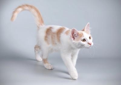 Sifat Kucing Aphrodite