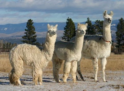 Llamas and alpacas - what's the difference?