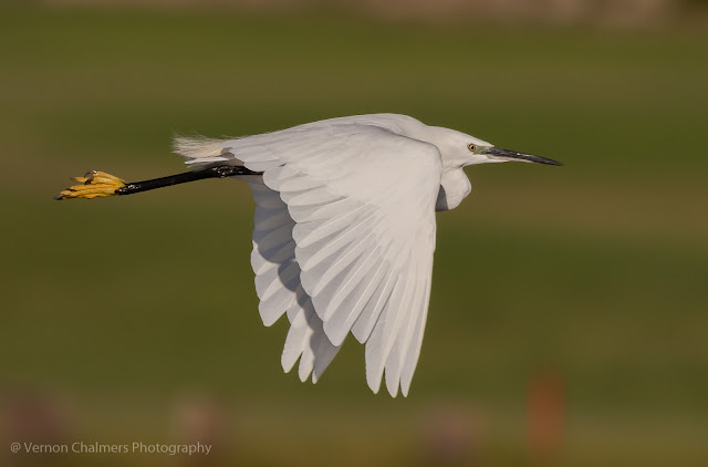 Little Egret in Flight - W.oodbridge Island Cape T.own