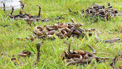 Penampakan 200 lebih ular kobra di satu tempat
