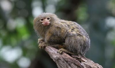 Legalidad sobre poseer un mono titi en España