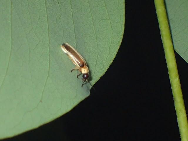 Luciola aquatilis