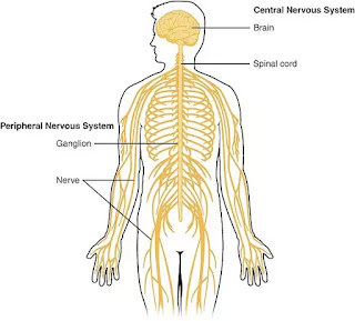 Nervous System Function, Unit & Structure of Nervous System