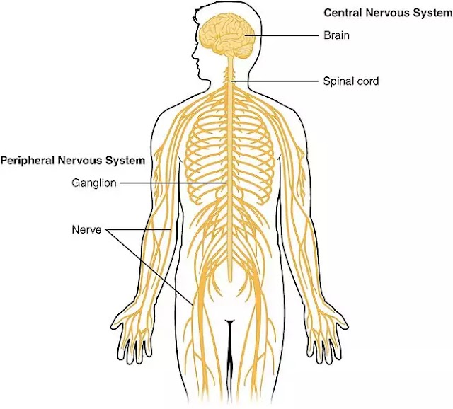 Nervous System :Function, Unit & Structure of Nervous System
