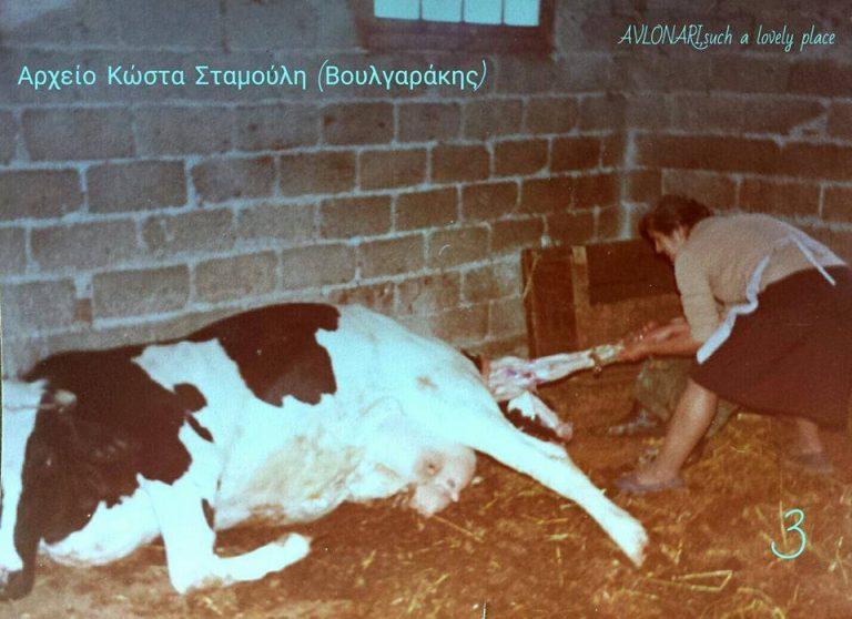 Οι σπάνιες αυτές φωτογραφίες, δείχνουν την προσπάθεια, την αγωνία, αλλά και την χαρά για την επιτυχή γέννηση της αγελαδίτσας στο Αυλωνάρι.(πηγή: avlonari such a lovey place)