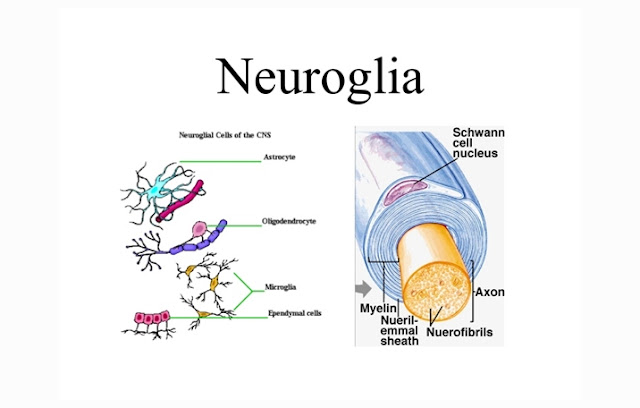 Pengertian, Struktur, Fungsi dan Jenis Neuroglia