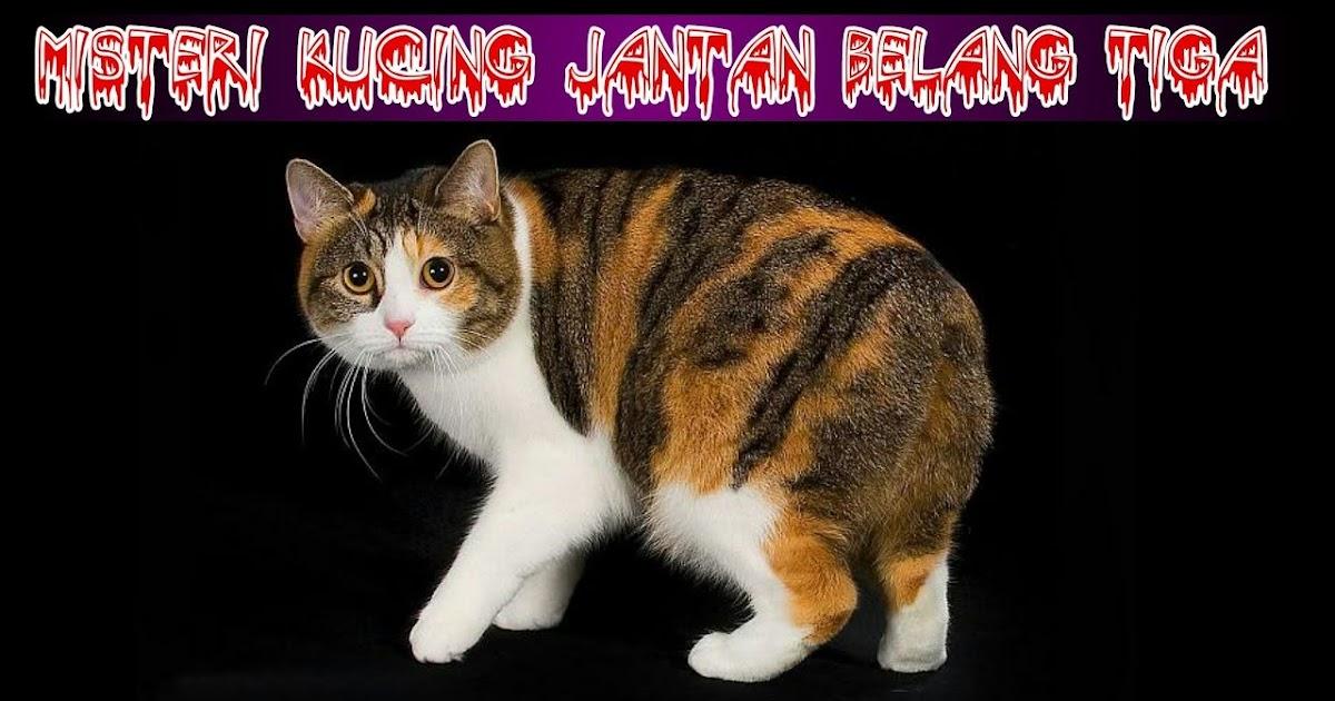 Mitos Atau Fakta Kucing Jantan Belang Tiga Akan Dimakan Induknya