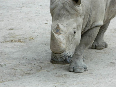 rhino, wordless wednesday
