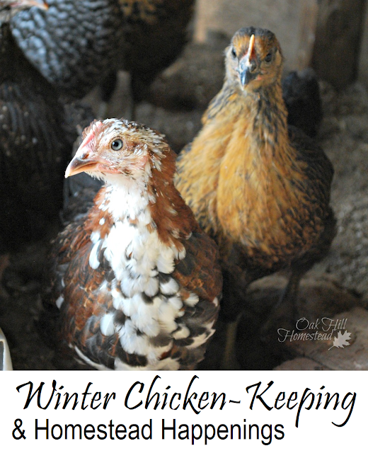 Winter Chicken-Keeping and Homestead Happenings | from Oak Hill Homestead