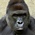 如果是圓仔掉進猩猩家中呢?