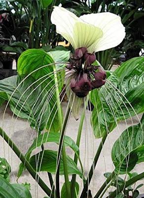 نبات القبار كباريس اسبينوسا Capparis spinosa