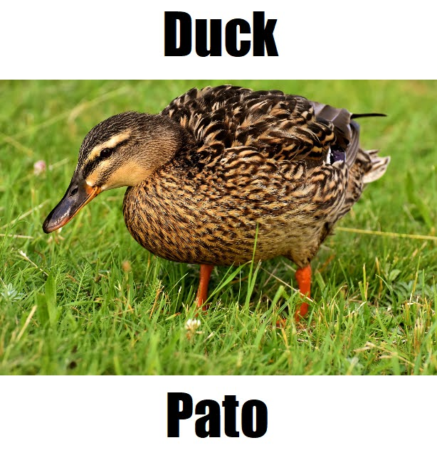 Duck in Tagalog