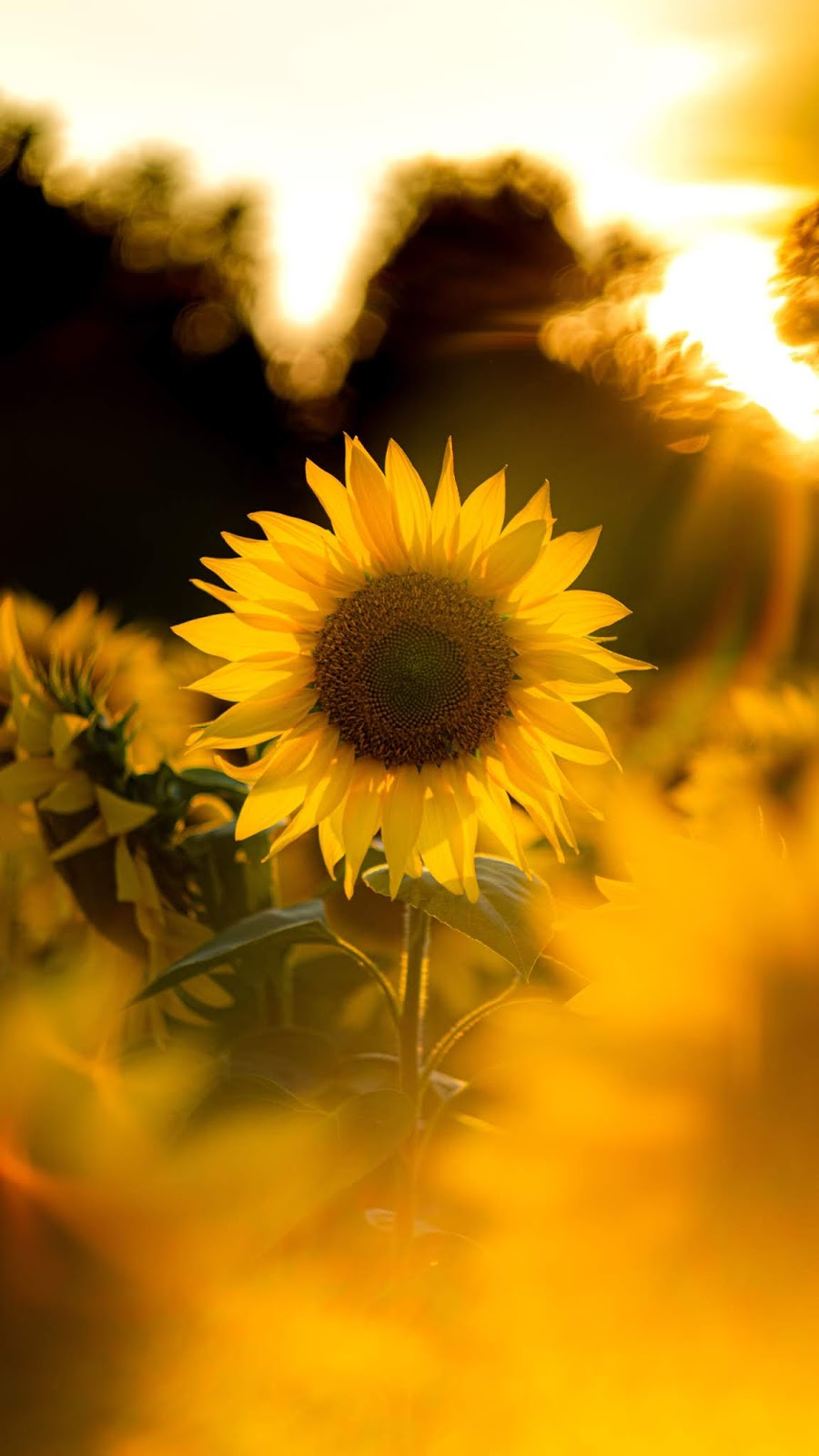 Sunflower android wallpaper