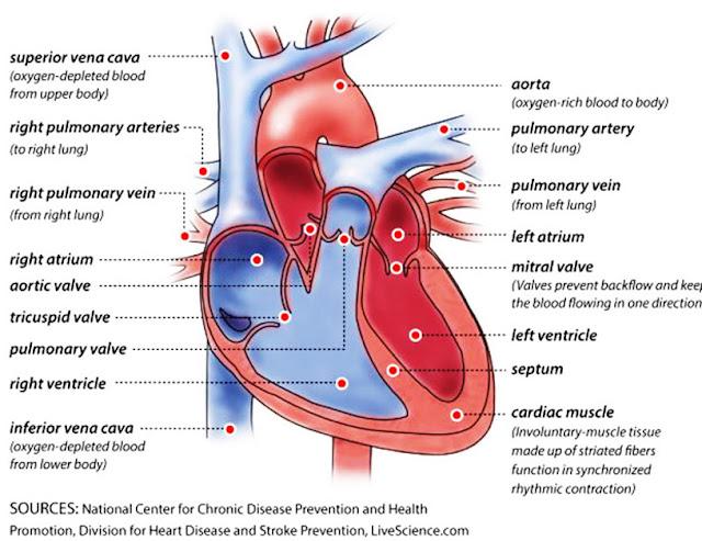 cara kerja Jantung adalah