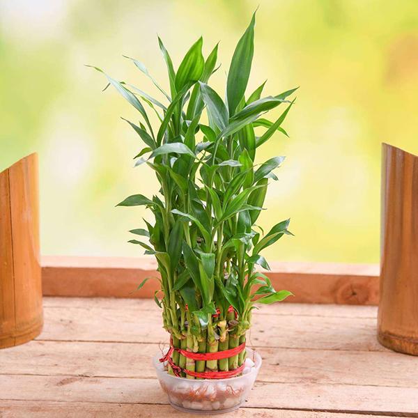 ไผ่กวนอิม (Lucky Bamboo)