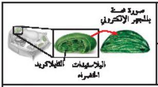 البلاستيدات الخضراء