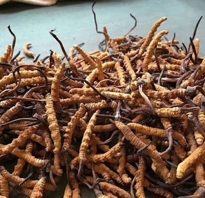 Cordyceps mushroom company in Himachal Pradesh