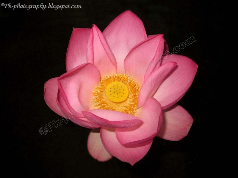 National Flower Of India Nature Cultural And Travel