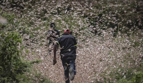 Miles de millones de langostas, arrasan los cultivos africanos