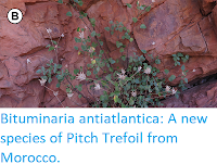 http://sciencythoughts.blogspot.co.uk/2017/12/bituminaria-antiatlantica-new-species.html