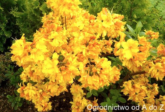 Azalea 'Sunte Nectarine'