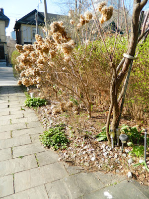 Summerhill Toronto spring garden cleanup before by Paul Jung Gardening Services