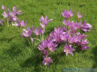 Colchique d'Automne - Colchicum autumnale - Safran sauvage