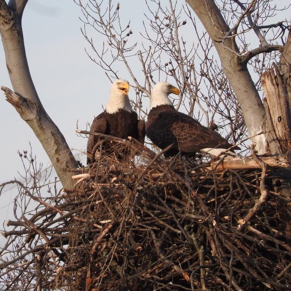 Terrierman\'s Daily Dose: Nesting Bald Eagles, Arlington, Virginia
