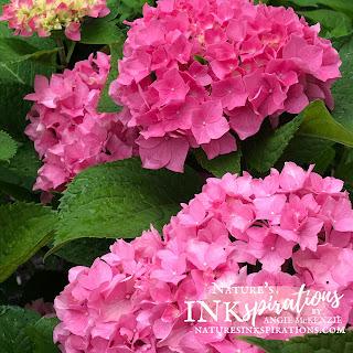 Pink Hydrangeas in my front yard - July 14, 2021   Nature's INKspirations by Angie McKenzie
