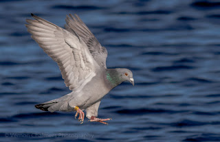 Image 7: Rock Pigeon in Flight over the Diep River, Woodbridge Island