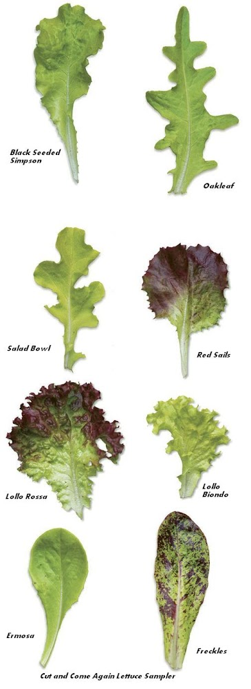 Cut And Come Again Lettuce Sampler All Garden World