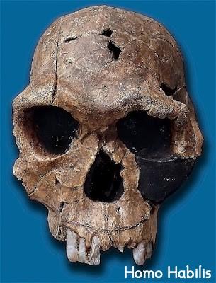 Homo Habilis, manusia purba afrika
