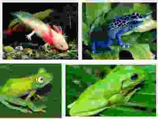 5 contoh hewan amfibi (amfibia) yang ada di dunia dan sekitar
