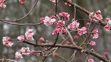 Viburnum x bodnantense, color y fragancia en el jardín de invierno