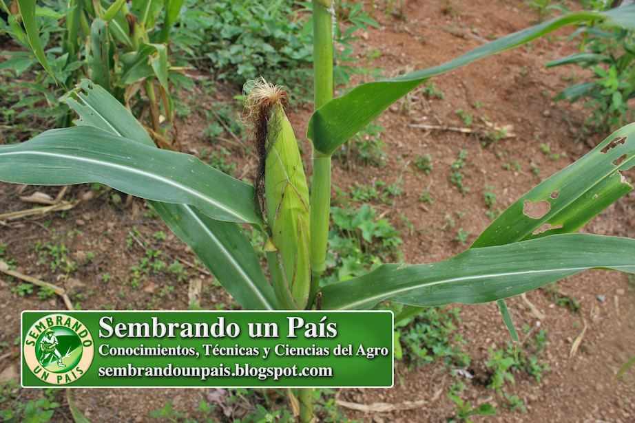 planta de maíz con mazorca en formación