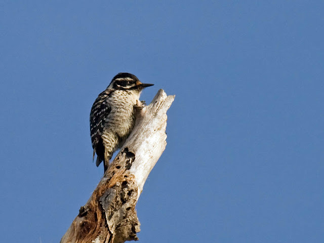 Female Nuttall's Woodpecker