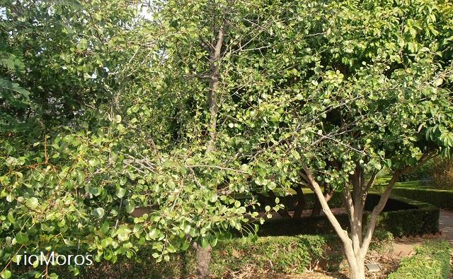 Piruétano Pyrus bourgaeana