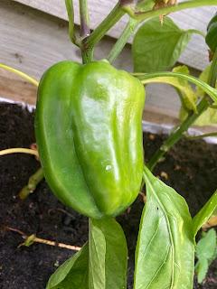 moestuin groene paprika