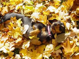 Image result for fall dachshund images