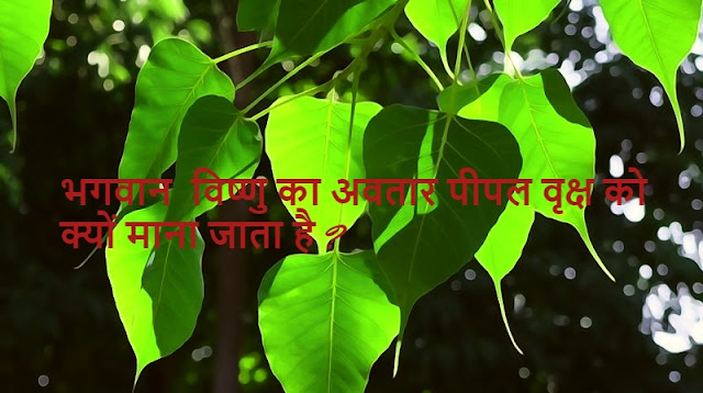 भगवान विष्णु का अवतार पीपल वृक्ष को क्यों माना जाता है ? Vishnu Avtaar Peepal Tree